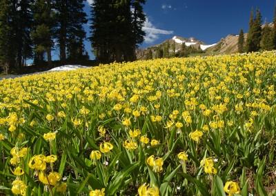 A Field of Glacier Lilies - Photo Courtesy of Jon Bradford